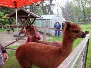 Alpakas zu Besuch